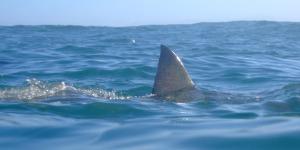 beware-the-lurking-shark